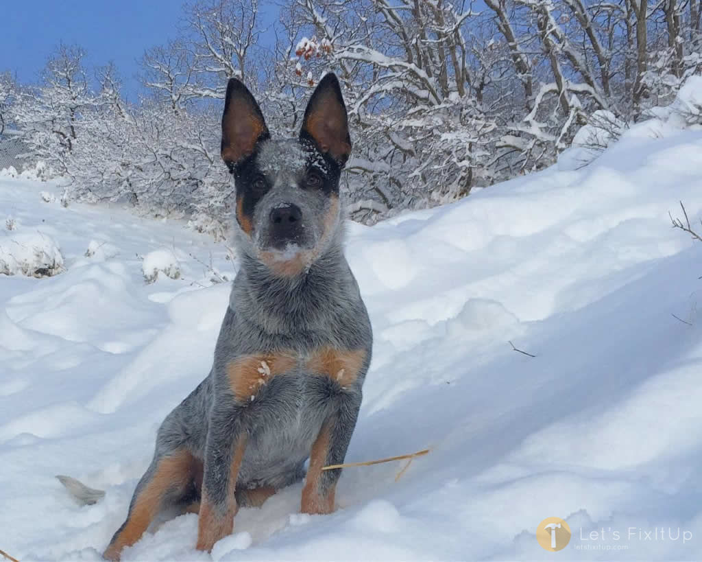 Best Dog Food Blue Heeler